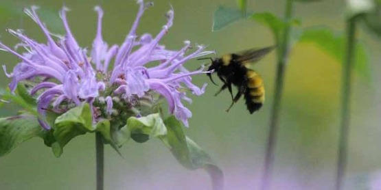 Bee pollinating Monarda