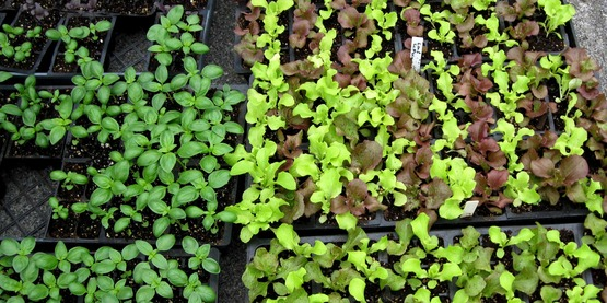 flats of basil and lettuce seedlings