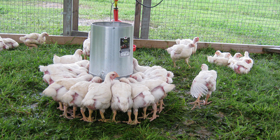 Poultry at Quinn's Irish Hill Farm in Freeville, NY
