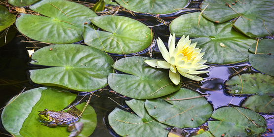 Frog and Lily Pads on Pond
