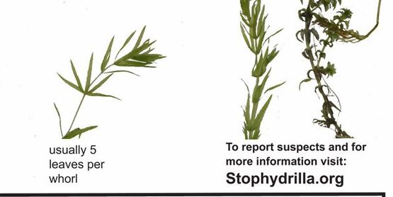 Hydrilla ID sheet 2