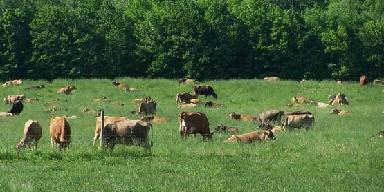 Jersey cattle graze at Tillotson Farm in Pavilion NY