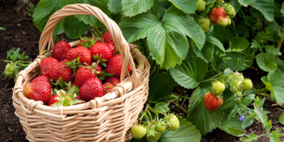 Strawberries in a basket in home garden.