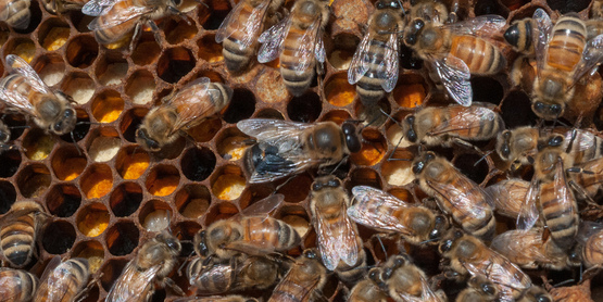 A queen Italian honey bee (large bee near center) in the USDA People's Garden Apiary in Washington, D.C.(USDA Photo).