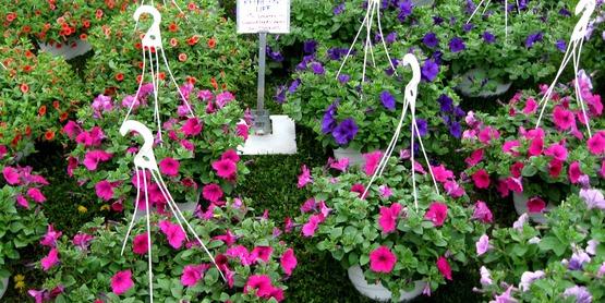 hanging planters of petunias