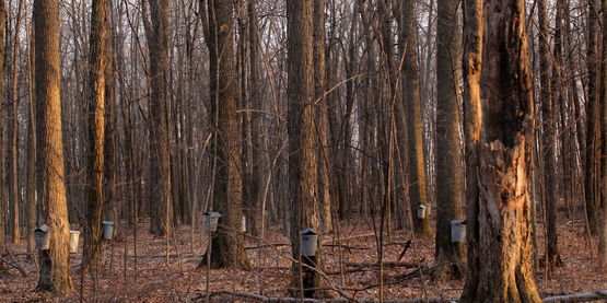 Tree Sap Drip Buckets