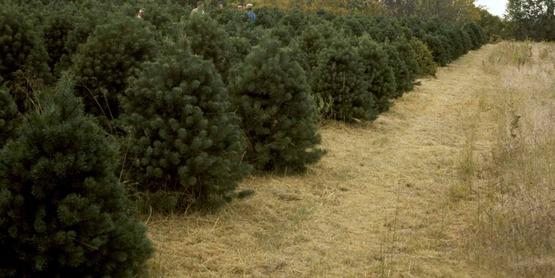 Trees at a Christmas tree Plantation