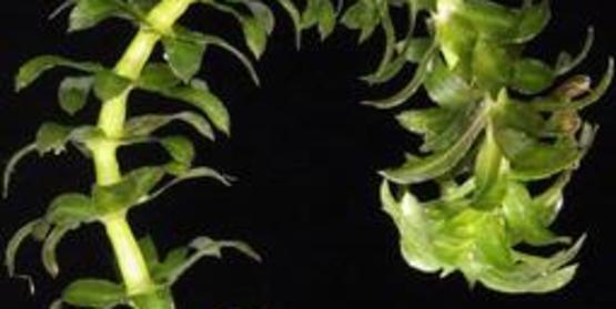 Hydrilla Plant