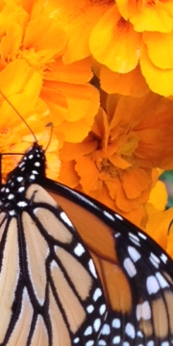 Monarch butterfly populations have decreased so it's important to plant milkweed