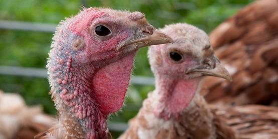 Pastured broiler turkeys at Nick's Organic Farm in Adamstown, MD (USDA).