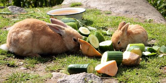 Domestic rabbits eating outdoors (2012)