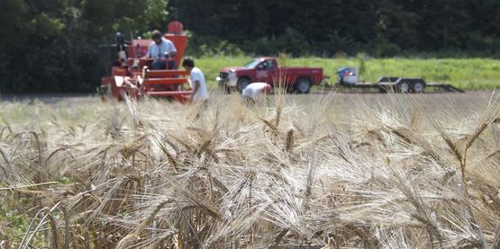 Cornell small grain trial harvest Hudson Valley 2014