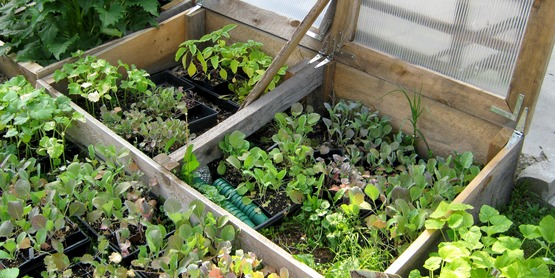 cold frames with flats of small plants, at the CCE-Tompkins Education Center