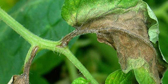 Late blight on tomato plant