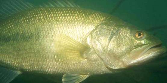 Adult largemouth bass are predators for smaller fish and require forage fish in the pond.
