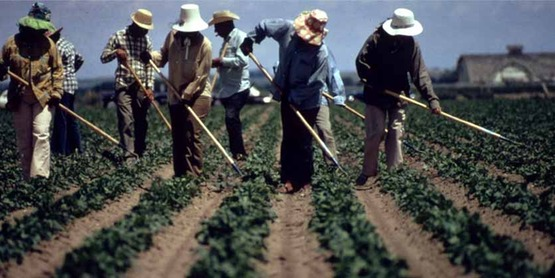 Farmworkers weeding sugar beets near Fort Collins CO