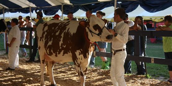 Cow Judging