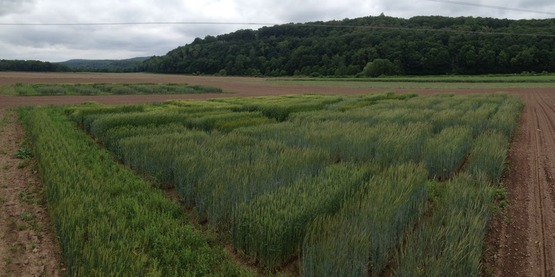 Winter malting barley, rye, and wheat trials, 2015