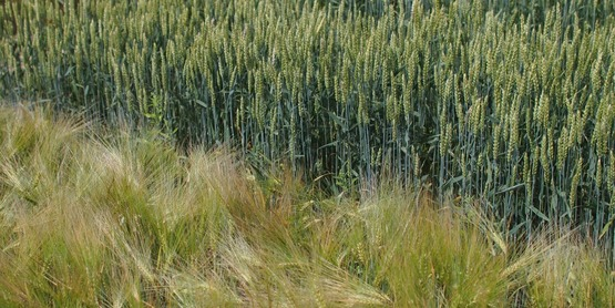 Winter malting barley, hard wheat plots, 2015