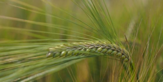 2-row malting barley, 2015