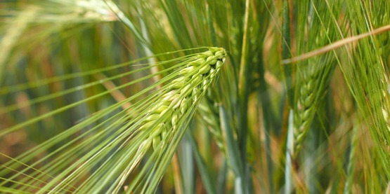 6-row malting barley, 2015