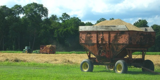Malting barley harvest, Hudson Valley, 2014