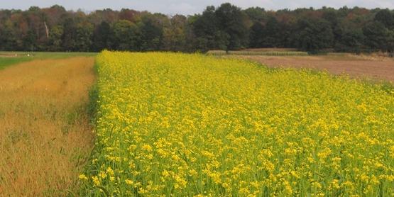 Biofumigant crop
