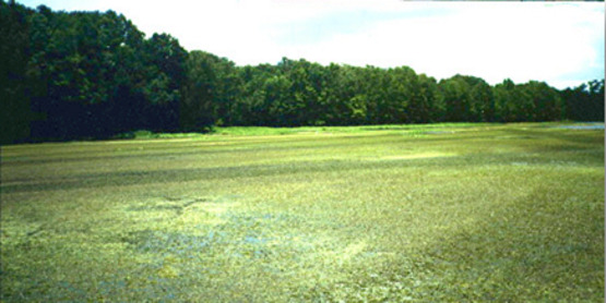 Hydrilla Infestation