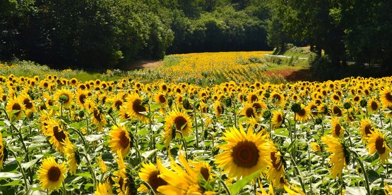 Field of sunflowers.