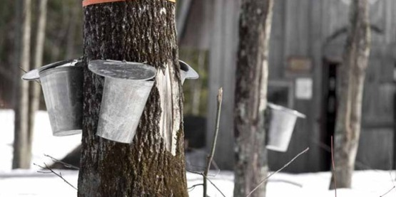 tapping maple