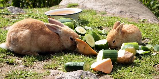 Cornell Cooperative Extension | 4-H Rabbit & Cavy Rules