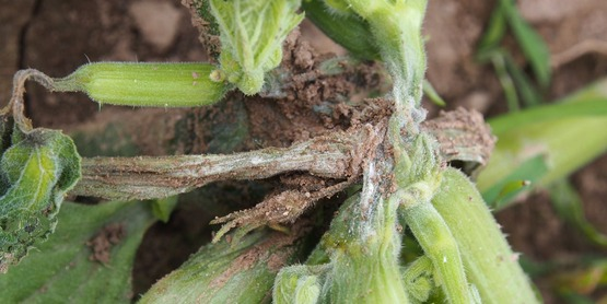 Phytophthora crown rot