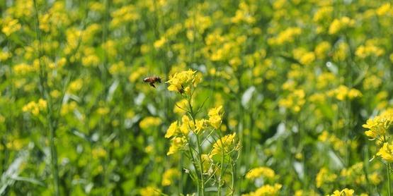 Pollinator landing on 'caliente' mustard