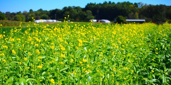 Mustard biofumigation cover crop