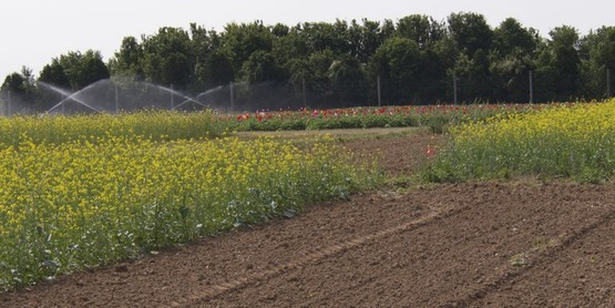 Cornell biofumigation test plots, Long Island