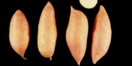 sweetpotato  Ipomoea batatas