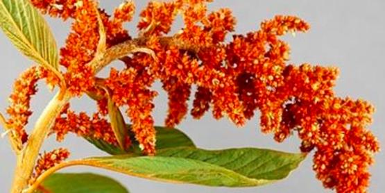 red amaranth  Amaranthus cruentus