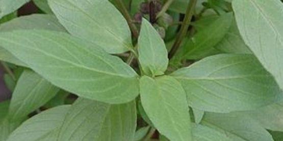 Ocimum basilicum 'Horapha' Thai Basil