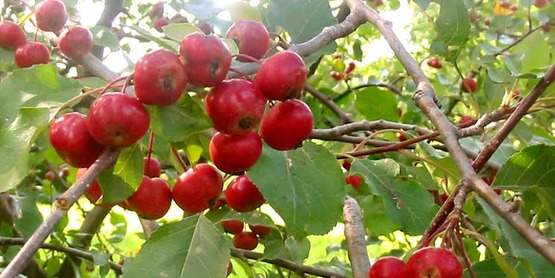 Fruit Tree Pruning class, Sunday April 8 at Indian Creek Farm, Ithaca.
