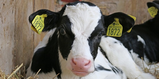Cornell Cooperative Extension Specialists present a virtual learning opportunity on Critical Calf Care: urgent decision making for calf health every Tuesday from January 5th – February 16th, 2021.