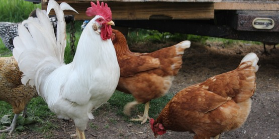 4-H Poultry Committee Record Review