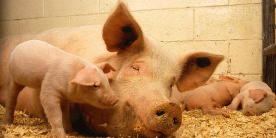 4-H Hog Committee