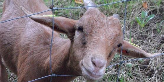 4-H Goat Project