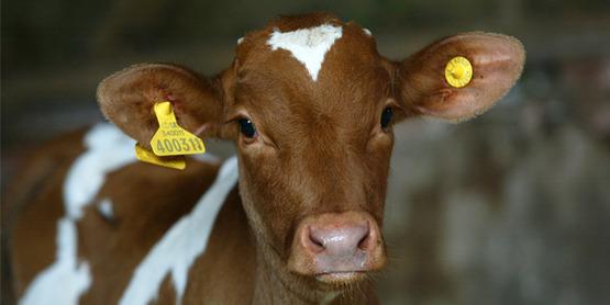 4-H NYS Guernsey Calf Award Application Due