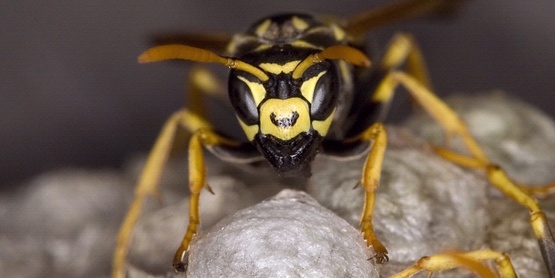 TAKE THE STING OUT OF FALL:  HOW TO MANAGE STINGING INSECTS AROUND THE HOME