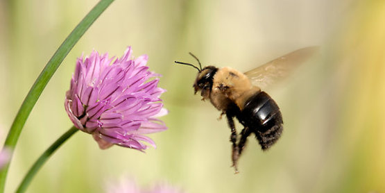 bumble bee with purple clover