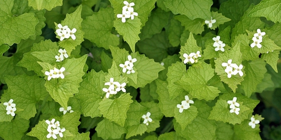 Garlic mustard in bloom.  Alliaria petiolata (Bieb.) Cavara & Grande -