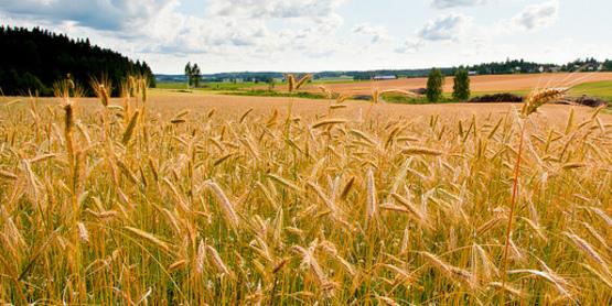 Malting Barley field