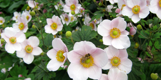 Japanese anemone in bloom