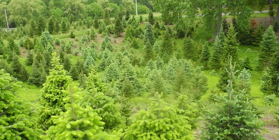 A diverse Christmas tree planting in Upstate New York.